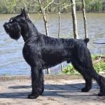 Ризеншнауцер щенки чёрного окраса, Волгоград