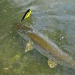 Живая прудовая рыба Продажа, Волгоград